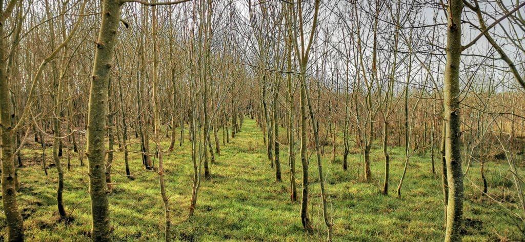 Ash Dieback Disease Ecoplan Forestry